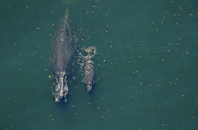 North Atlantic right whale mom and calf
