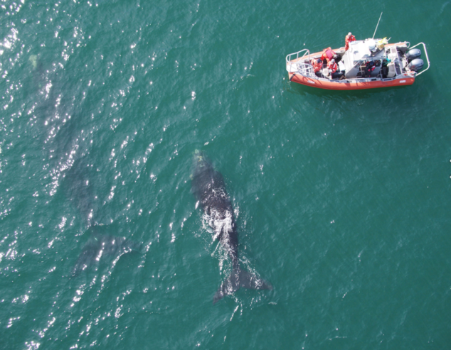 North Atlantic right whale research
