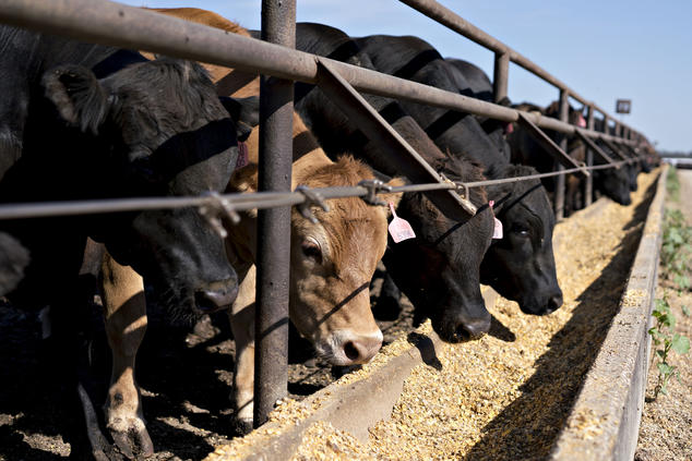 Beef cattle at a feedlot
