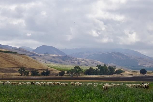 Rotational Grazing with Sheep at Paicines Ranch in California