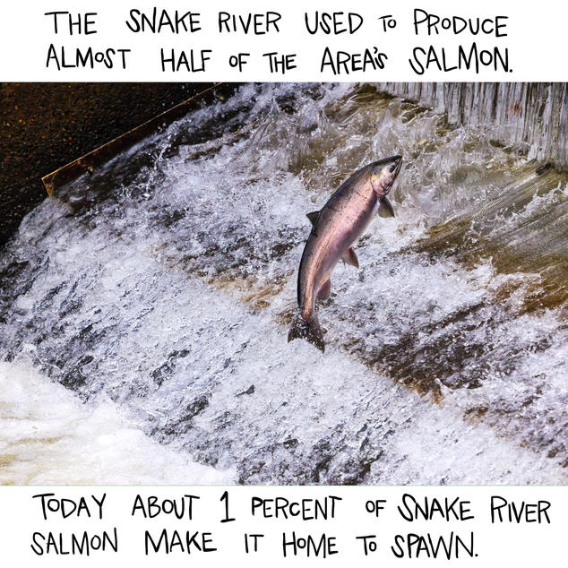 The Snake River used to produce almost half of the area's salmon. Today about 1 percent of Snake River salmon make it home to spawn.