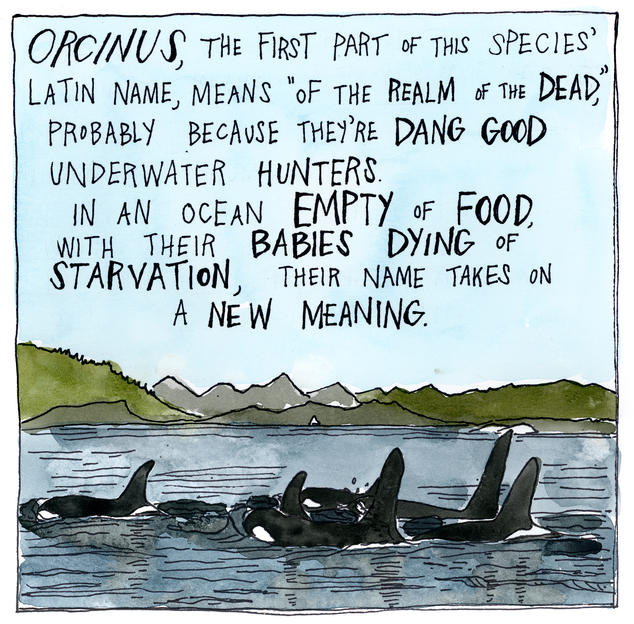 "Orcinus, the first part of this species' Latin name, means ""of the realm of the dead,"" probably because they're dang good underwater hunters. In an ocean empty of food, with their babies dying of starvation, their name takes on a new meaning."