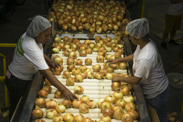 Two Workers Process Onions on a Processing Line