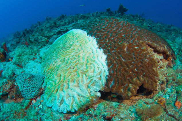 scientists are battling a mysterious pathogen destroying coral reefs