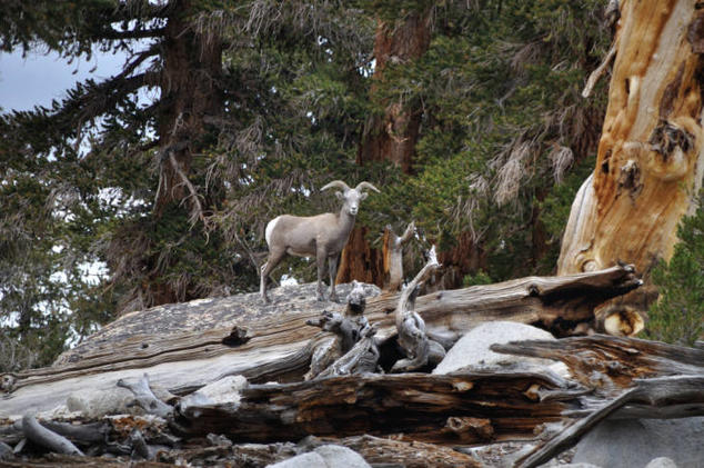 Sierra Nevada Bighorn Sheep, Mt. Langley Herd