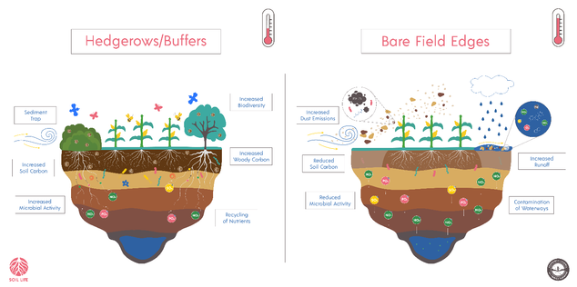 Hedgerows and Buffers improve agricultural lands by trapping sediment, increasing soil carbon, microbial activity, biodiversity, woody carbon, and recycling nutrients over bare field edges
