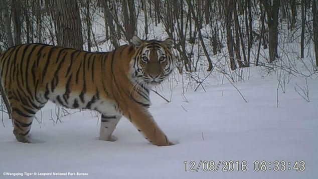 Amur tiger in the Wangqing Nature Reserve.