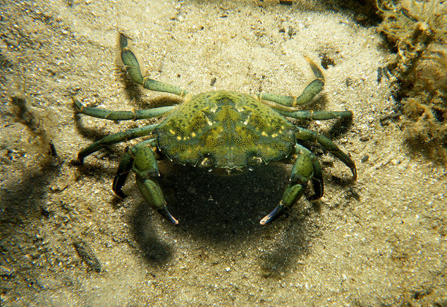 Puget Sound Braces For The Worst A Green Crab Plague
