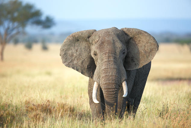 Status Check For African Elephants Nrdc