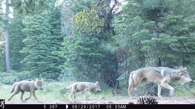 2 wolf pups and female wolf from the Lassen Pack
