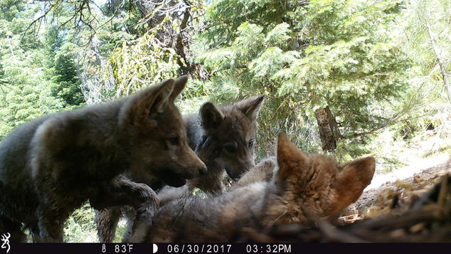 3 puppies from the Lassen Pack