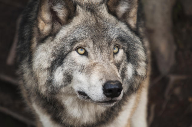 Wolf recovery