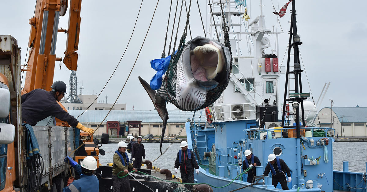 Japan Goes Rogue and Resumes Commercial Whaling