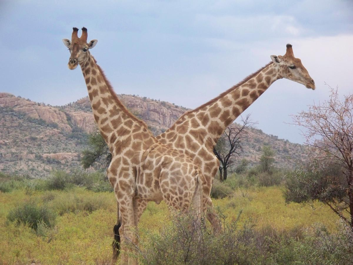 Will Cites Parties Stick Necks Out For Giraffes At Cop18 Nrdc
