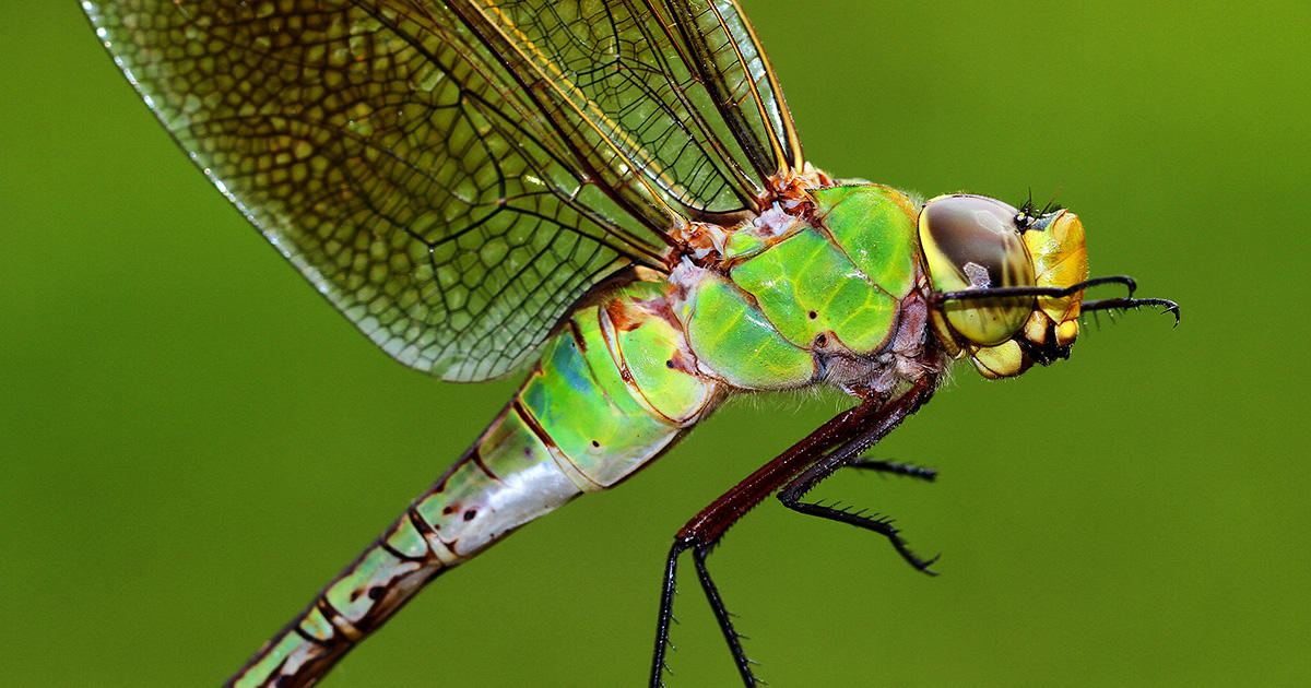 why are there so many dragonflies 2019