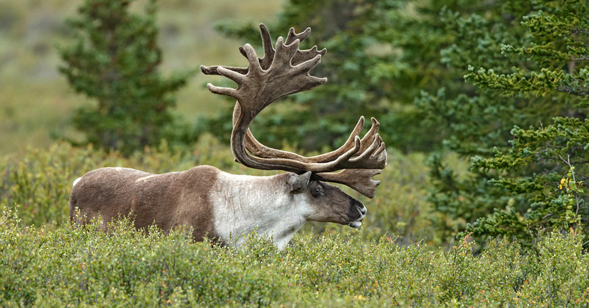New Maps Show Protected Caribou Habitat Under Siege Nrdc