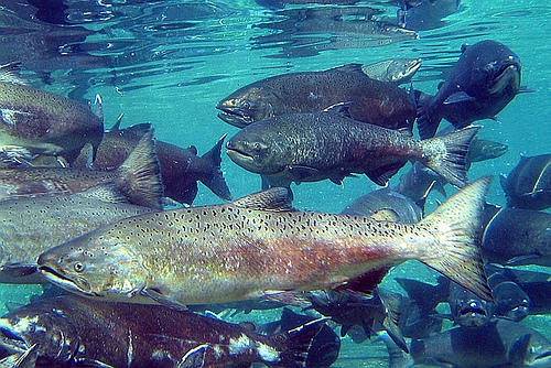The Bay-Delta Salmon Crisis That Didn't Have to Be - NRDC (Natural Resources Defense Council)