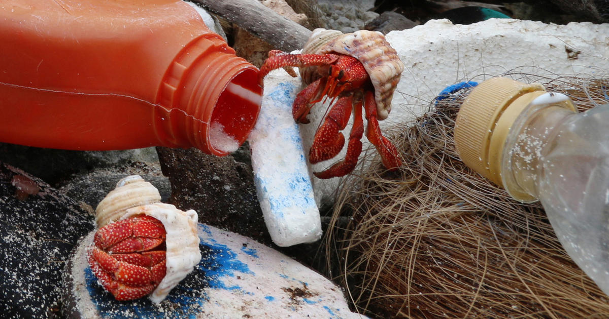 How Plastic Bottles Become Death Traps for Hermit Crabs