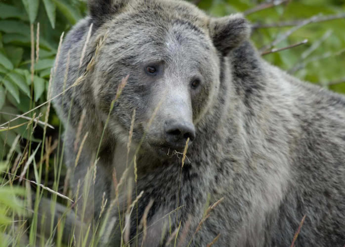 Montana Council Should Recommend Against Hunting Grizzlies