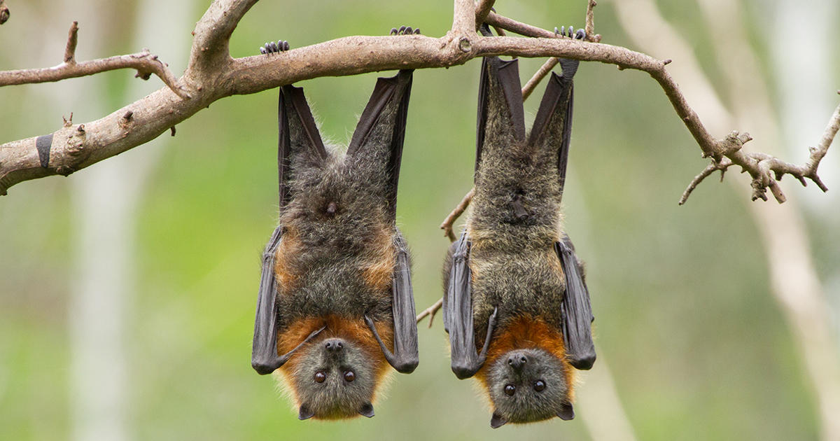 Experts Urge People All Over the World to Stop Killing Bats out of Fears of Coronavirus
