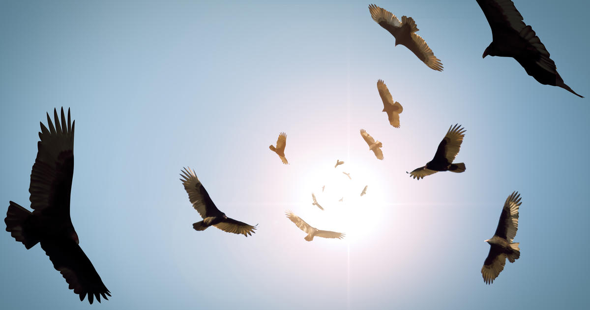 Are Kentucky Farms Under Attack from Flocks of Ravenous Vultures? Not Quite.