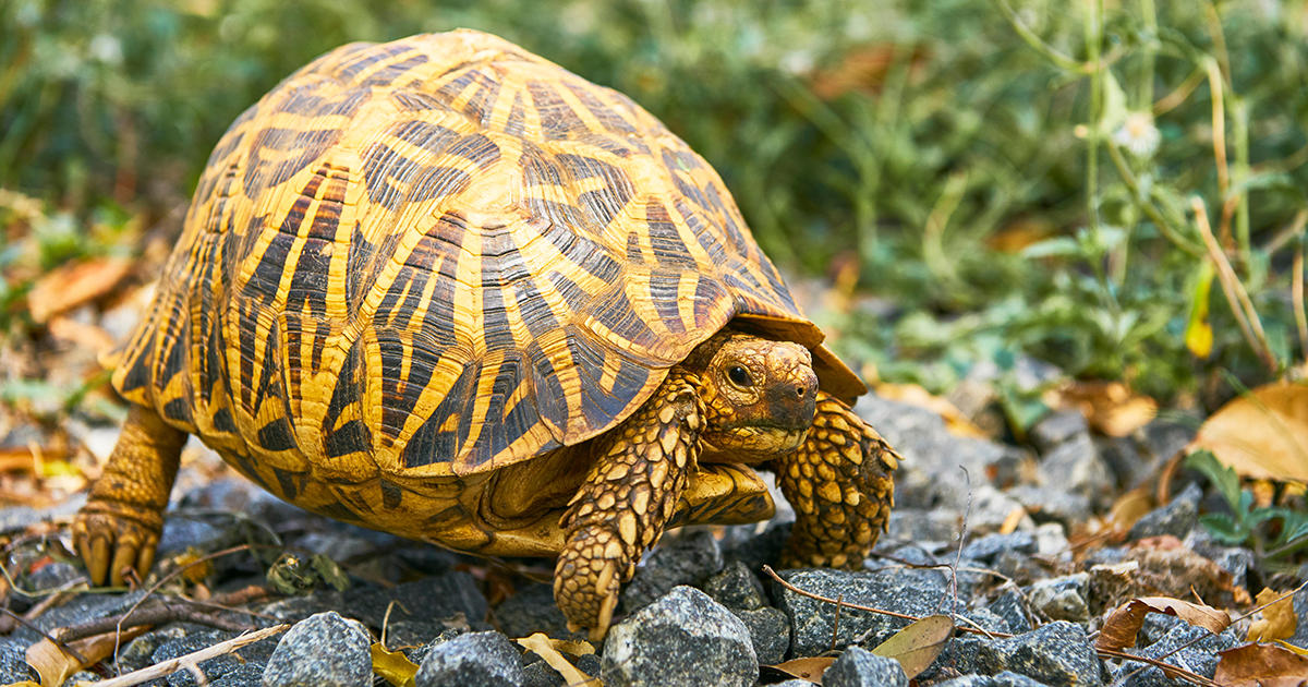 Extinction Threatens More than Half of the World's Turtles and Tortoises
