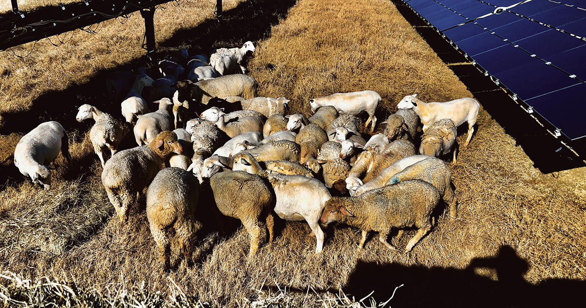 Sheep (and Soil Scientists) Juice Up the Solar Farm