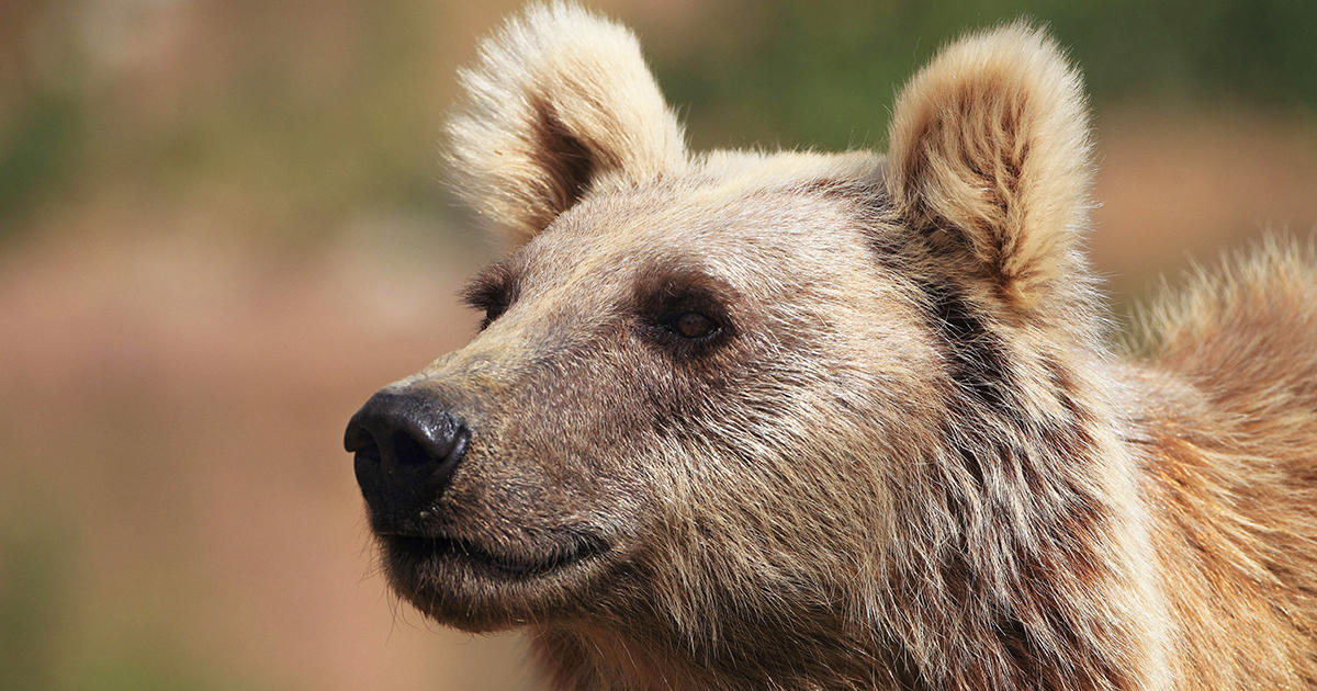 Iran S Brown Bears Are Closer To The Edge Than People Have