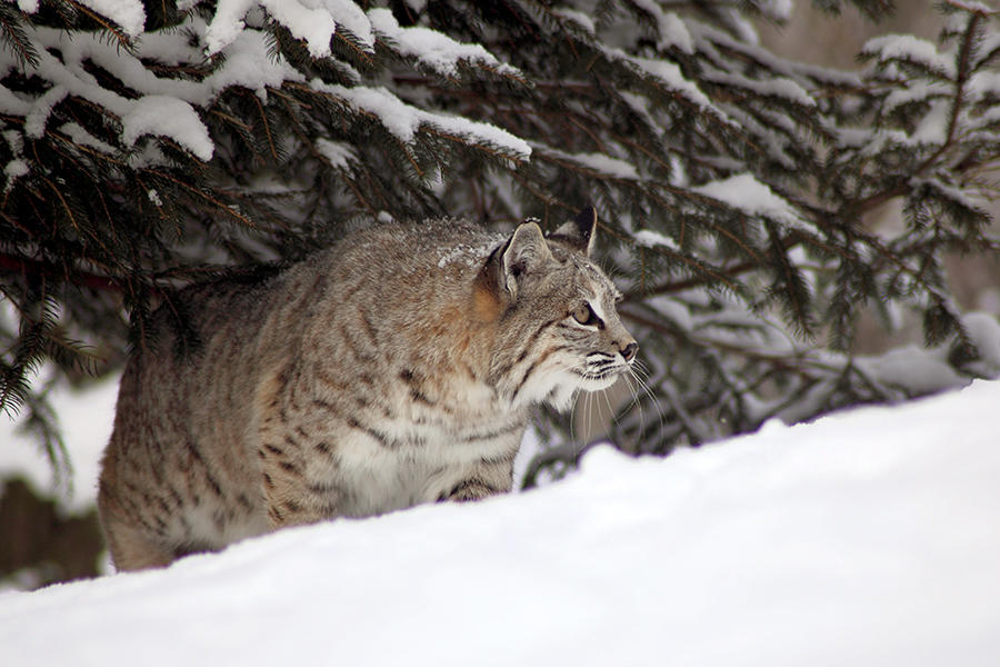 Illinois Holds Its First Bobcat Hunt In 40 Years And