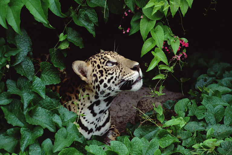 As The Amazon Burns Jaguars Burn With It Nrdc