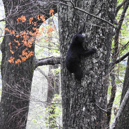 Black Bear Cub Climbing a Tree, Great Smokey Mountains National Park, TN