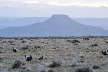 Greater Sage Grouse in WY