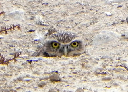 Western Burrowing Owl in NV