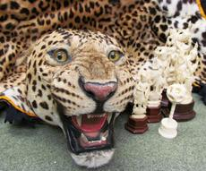 leopard pelt and ivory carvings at the U.S. Fish and Wildlife Service