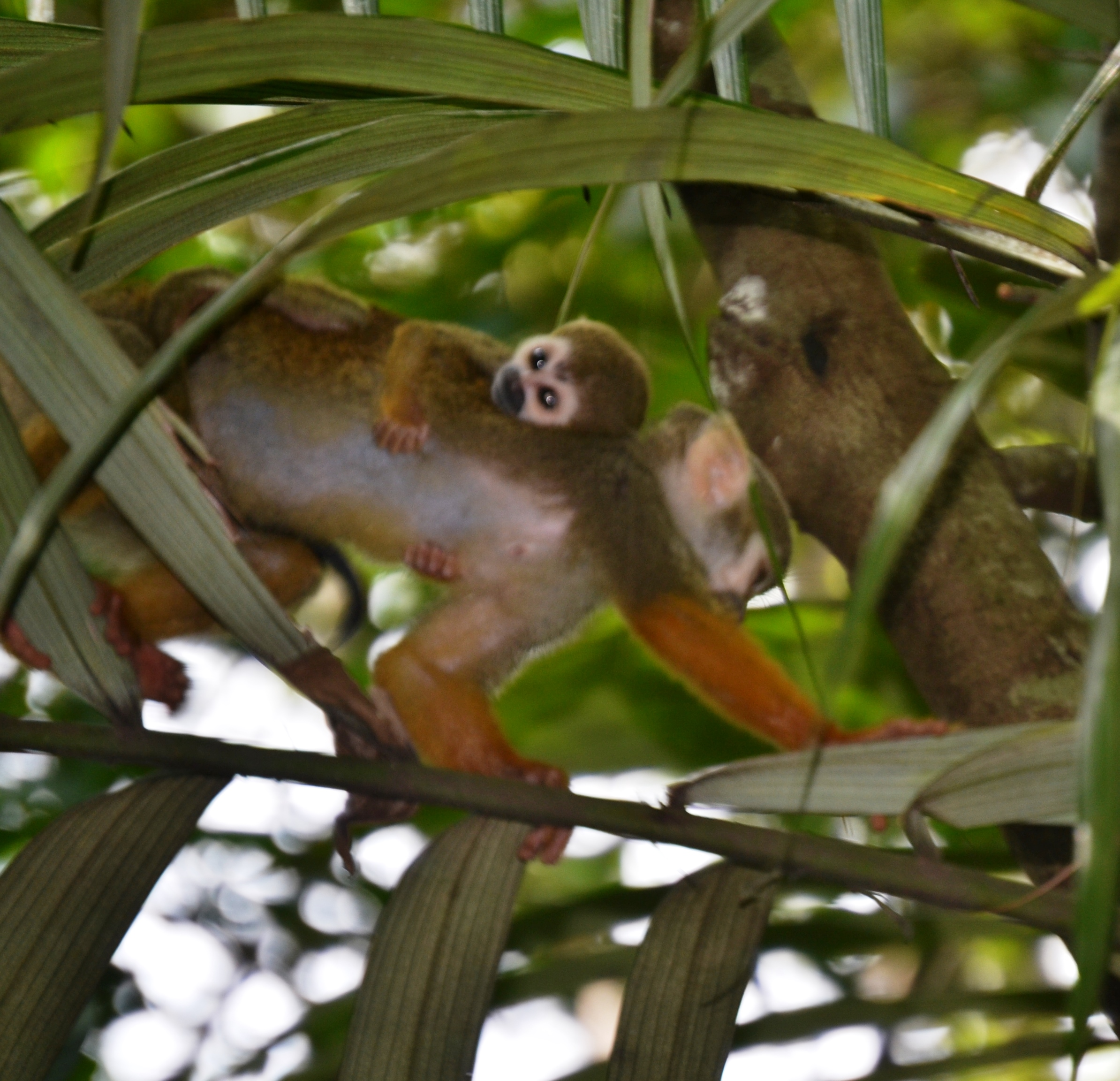 An adult squirrel monkey traveling with a babyPhoto: Anita Stone