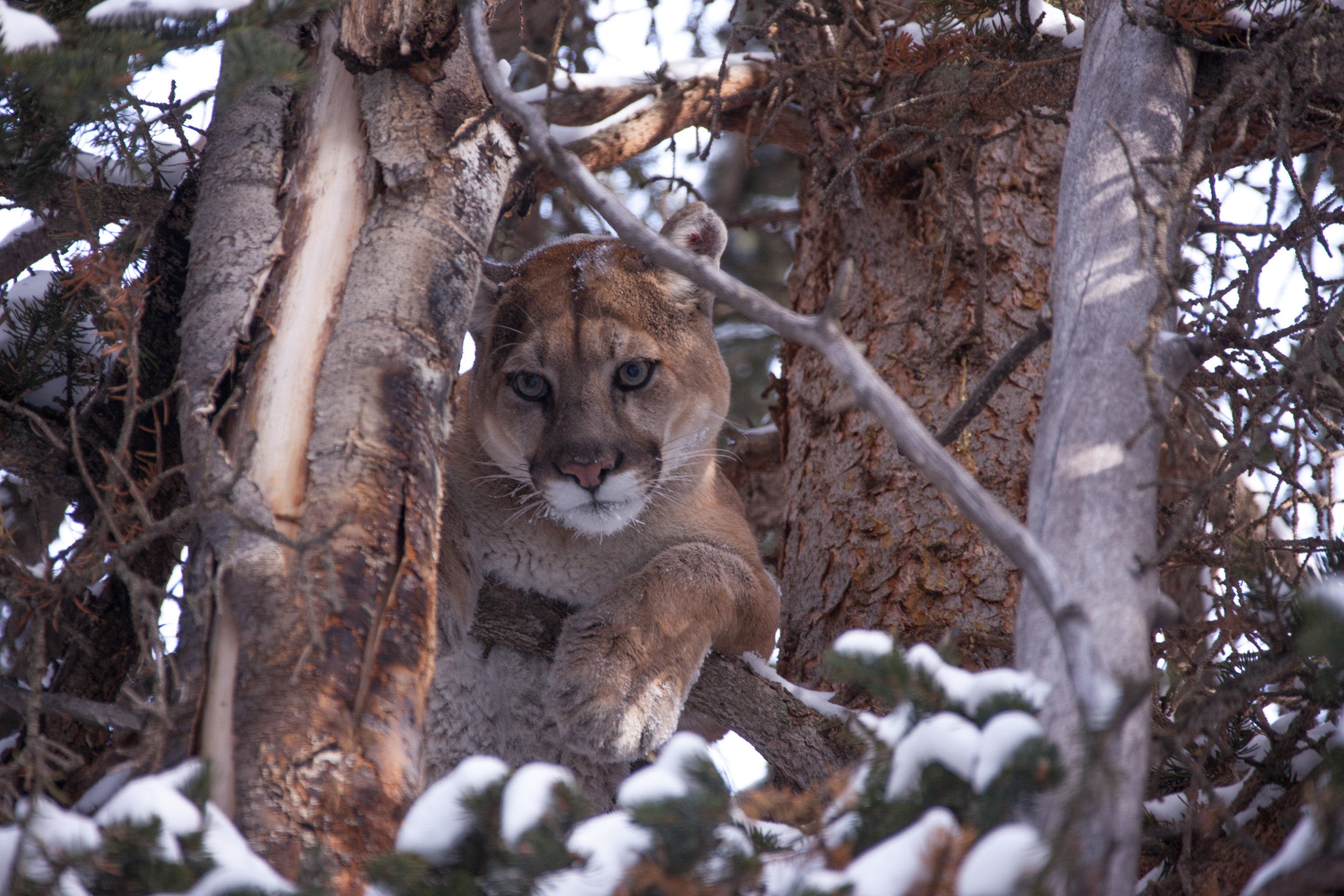 c737499a159 A mountain lion takes cover in a tree.Photo  Duncan Parker